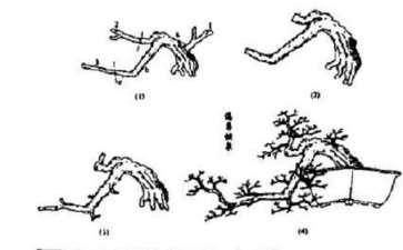 图解 福建茶水影式盆景怎么制作的方法