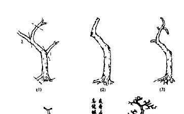 图解 怎么制作岭南单干式雀梅盆景的方法