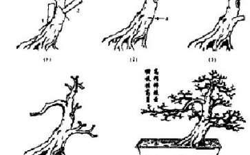 图解 矮仔大树式榆树盆景怎么造型的方法