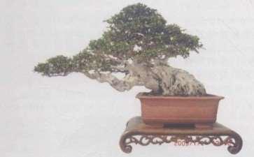 图解 赏郑志林盆景作品 图片