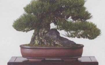 日本第83届国风盆景展 图片