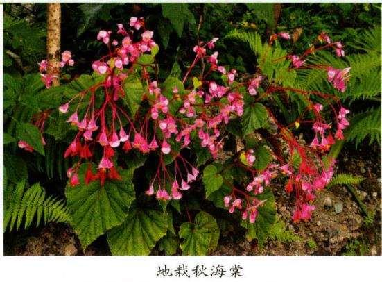 国产秋海棠果实果翅的形态多样性