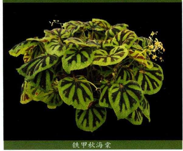 国产秋海棠花被颜色和数目多样性