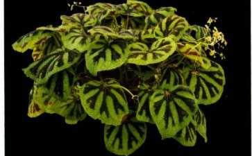 国产秋海棠花被颜色和数目多样性 图片