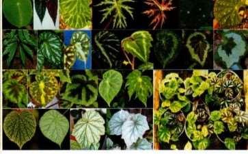秋海棠类植物的植株及叶片大小多样性