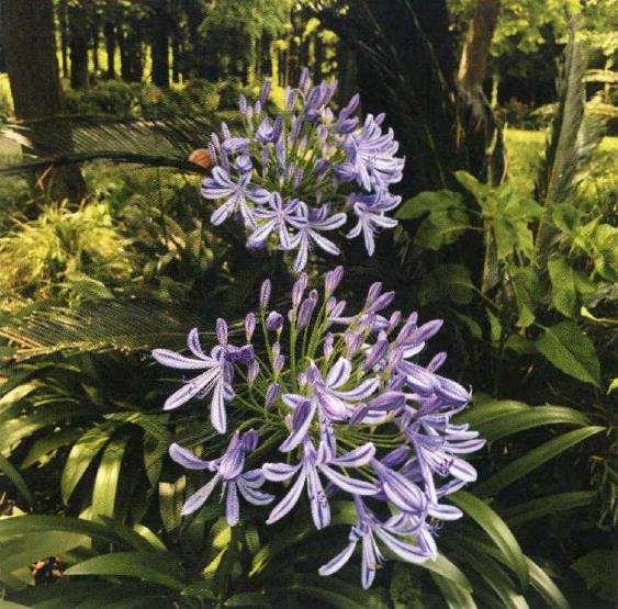 百子莲怎么播种繁殖的4个方法