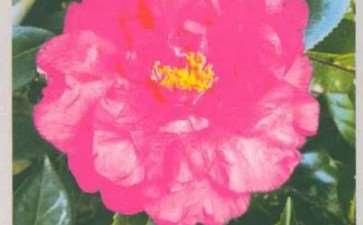 湖南长沙花农登录两个茶花新品种
