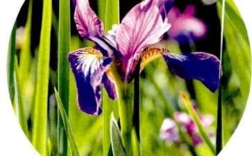 5个鸢尾主要园艺类群及其应用 图片