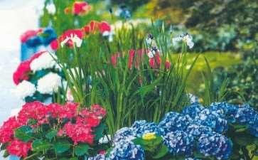 绣球花的分类有哪些 图片