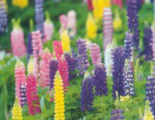 绣球花的变色与园艺园林的应用
