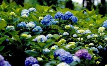 无论你的花园里收集了多少种绣球