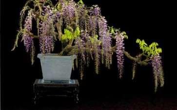 紫藤盆景怎么繁殖的3个方法 图片