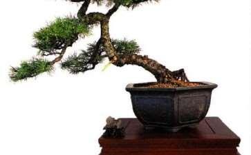 雪松盆景怎么栽种造型的3个方法方法