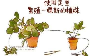 盆栽草莓怎么繁殖的3个方法 图片