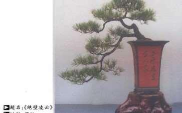 黑松老桩盆景怎么移栽的3个步骤 图片