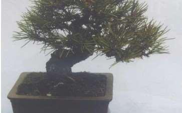 小型盆景怎么沙床养护的3个方法 图片