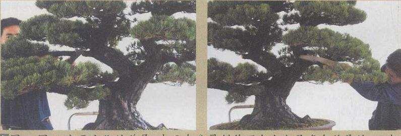 大阪松盆景