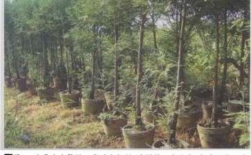图解 为什么水松生长快 好培育盆景