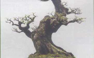 图解 水松13年怎么制作盆景的6个步骤