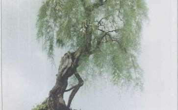 柽柳盆景《雨霁含烟图》图片欣赏