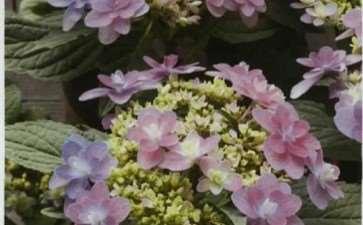 绣球花怎么调色的5个方法 图片