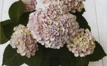 绣球花怎么施肥修剪的3个方法 图片