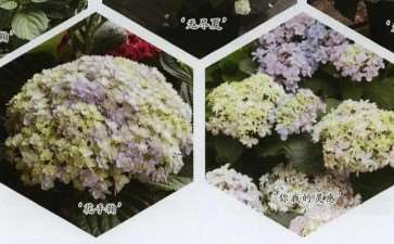 绣球花的种植介质和花盆怎么选择 图片