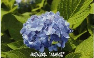 花团锦簇的绣球花是哪20个种类 图片