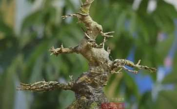 图解 三角枫熟桩10年制作成盆景的过程