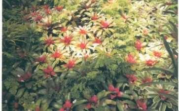 枳水凤梨怎么上盆繁殖的3个方法 图片