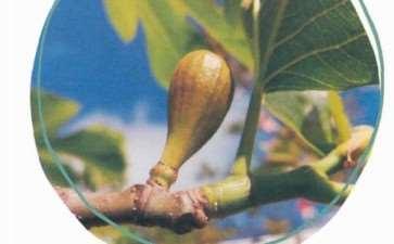 新西兰的无花果树怎么扞插繁殖的2个方法