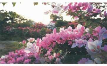 瘴州三角梅种植户和企业有1000多家 图片