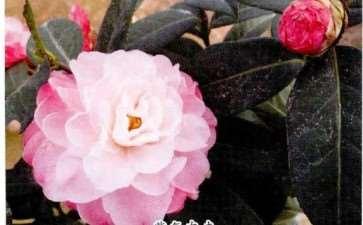 4个茶花登录新品种介绍 图片