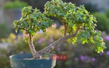 图解 老外5年制作金枝玉叶盆景的过程