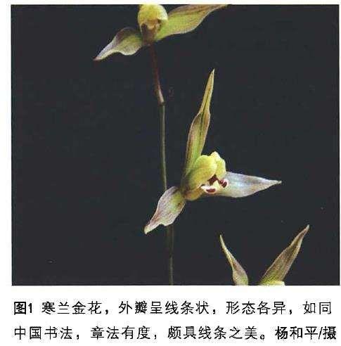 传统兰花瓣型理论对寒兰鉴赏有指导意义