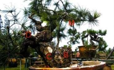 图解 松树盆景怎么制作舍利神枝和马眼