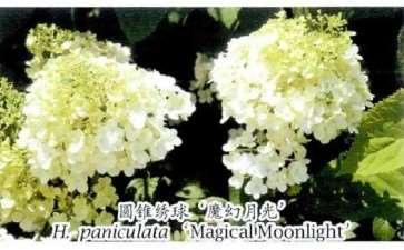 3种绣球花的品种 图片