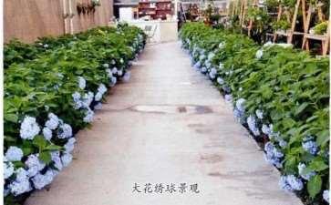 绣球花怎么养护和虫害防治的3个方法
