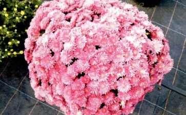 花园小菊怎么浇水施肥的6个方法 图片