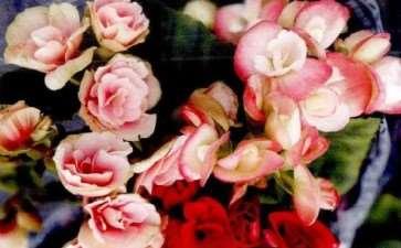 丽格海棠怎么上盆定植的3个方法 图片