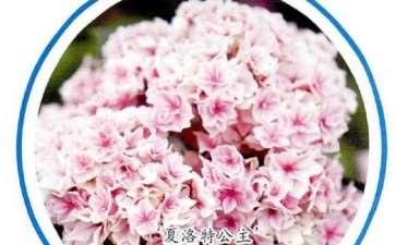 8种适合家庭种植的绣球花 图片