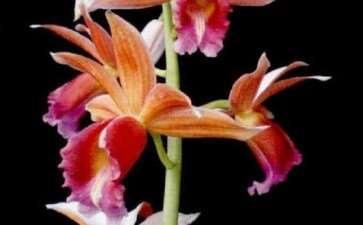 鹤顶兰的3个杂交品种是什么 图片