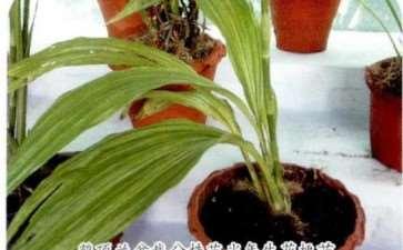 鹤顶兰怎么分株繁殖的方法 图片