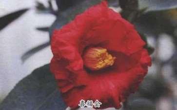 2018年4个茶花新品种介绍 图片
