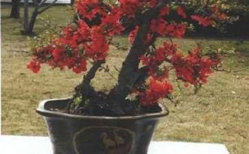 盆栽贴梗海棠怎么浇水施肥的3个方法