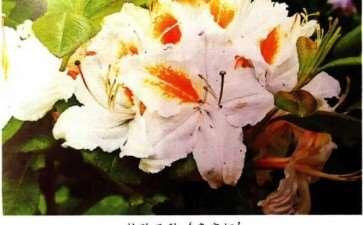 杜鹃花与石楠花的3个区别 图片