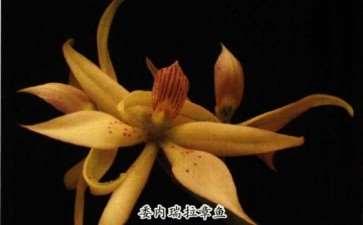 6个易栽易养的章鱼兰 图片