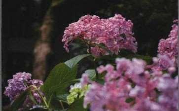绣球花怎么光照施肥的3个方法 图片