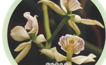 章鱼兰的6个种类是哪些 图片