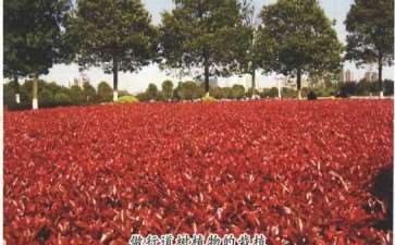 红叶石楠的5个主要品种 图片